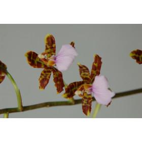 Odontoglossum bictoniense 'Celle'