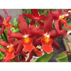 Odontoglossum Chayenne (Jgpfl.)