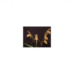 Paphiopedilum praestans 'Tiger' BM/DOG