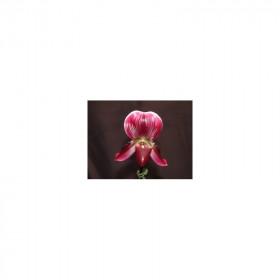 Paphiopedilum callosum 'vinicolor'