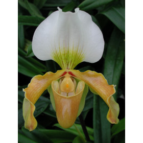 Paphiopedilum Bidborough