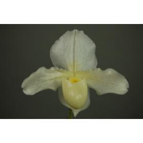 Paphiopedilum Whitemoore 'Norriton'