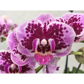 Phalaenopsis Rembrandt