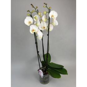 Phalaenopsis Solitär 'White' (4 Rispen)