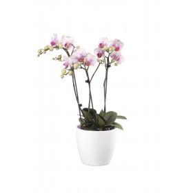 Phalaenopsis Präsent, rosa (3 Pflanzen)
