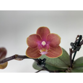 Phalaenopsis Dusty Belle