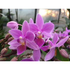 Phalaenopsis equestris 'rosea'