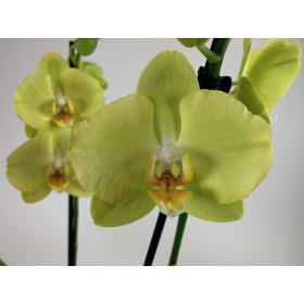 Phalaenopsis Ferrara