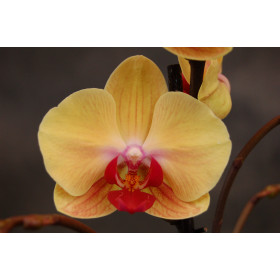 Phalaenopsis Golden Beauty