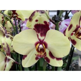 Phalaenopsis Golden Polka