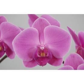 Phalaenopsis Texel