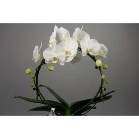 Phalaenopsis White Mirror