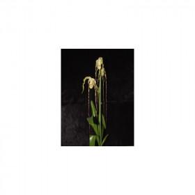 Phragmipedium Grande