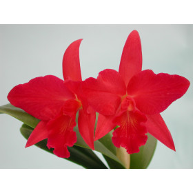 Sophrolaeliocattleya Jewel Box 'Dark Water'