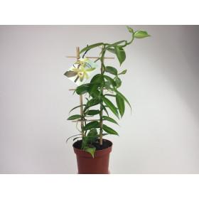 Vanilla planifolia 'variegata' (Rankegitter) - Real Vanilla plant