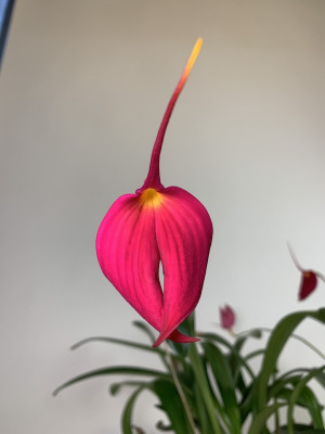 Masdevallia veitcheana 'Celle'