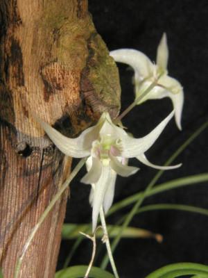 Dendrobium gregulus