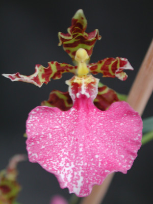 Odontoglossum bictoniense x Oncidium bifolium