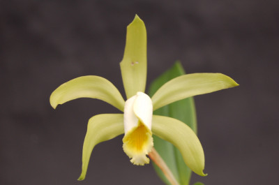 Cattleya forbesii 'aurea'