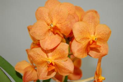 Ascocenda Orange Pretty