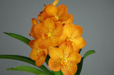 Ascocenda Orange Spotty