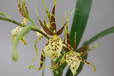 Brassia Eternal Wind 'Summer Dream' (Jungpflanze)