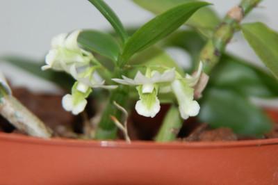 Dendrobium oligophyllum