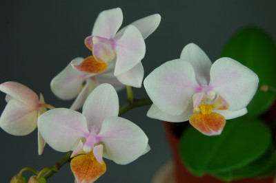 Doritaenopsis Sogo Dunia