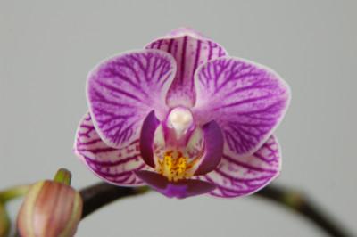 Doritaenopsis Sogo Vivien