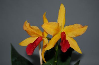 Laeliocattleya Golddigger 'Orchid Jungle'