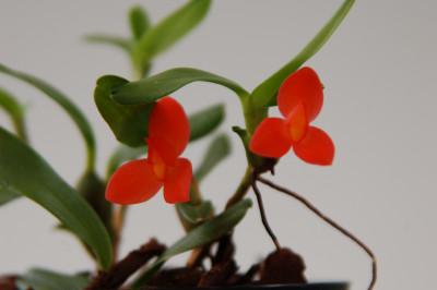Maxillaria sophronites