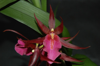 Miltassia Royal Rob 'Diplomaat'