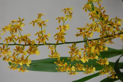 Oncidium Fragrancia