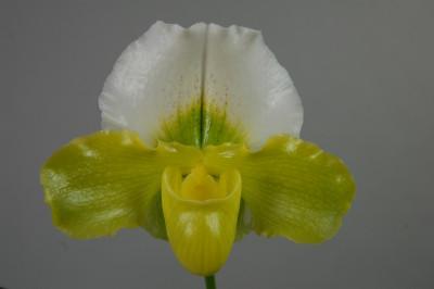 Paphiopedilum Betty Bracy Springtime