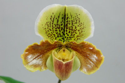 Paphiopedilum Hunter Point 'San Francisco'