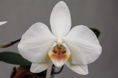 Phalaenopsis amabilis 'grandiflora'