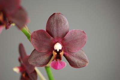 Phalaenopsis Black Pearl