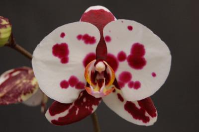 Phalaenopsis Elegant 'Polka Dots'
