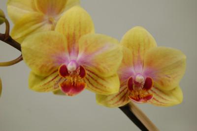 Phalaenopsis Little Sunny Splash