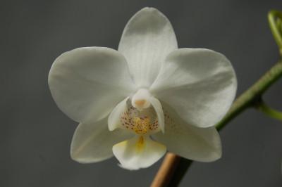 Phalaenopsis Malta (4-6 Rispen)