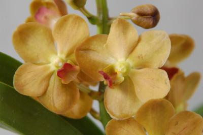 Vanda Sahara Gold