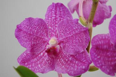Vanda Suri Pink