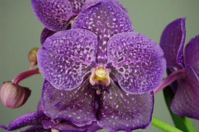 Vanda Violet Blue 064