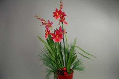 Weihnachts-Präsentpflanze, Nelly Isler  (2-3 Blütenrispen)