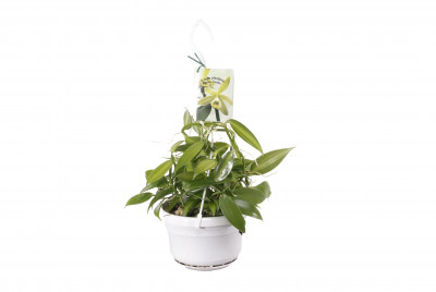 Vanilla planifolia 'variegata' (Ampelpflanze) - Real vanilla plant