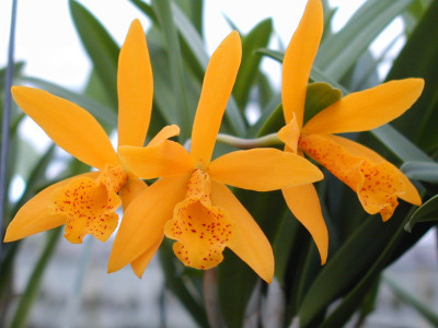 Cattleya Golden Mul