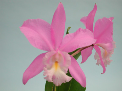 Cattleya Miva Breeze 'Alize'