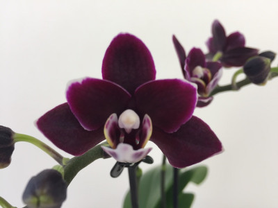 Doritaenopsis Little Black Pearl