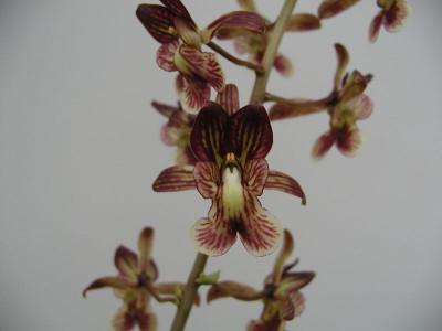 Eulophia saundersiana