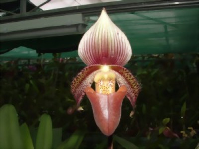 Hoa gieo tứ tuyệt 3 - Page 17 Paphiopedilum_ciliolare